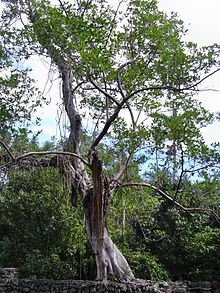strangle fig tree very common in south florida