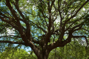 coral gables property with top heavy crown tree