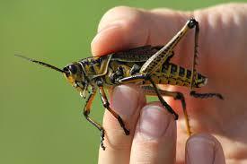 Grasshopper in lawn