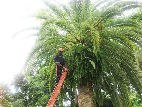 Tree Pruning with homeowner in Pinecrest
