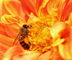 Africanized Honey Bee found in pinecrest