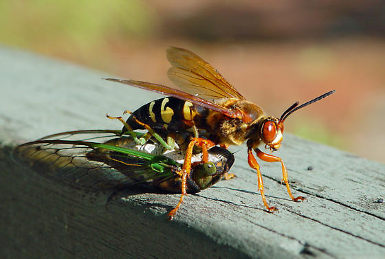 the killer wasp very aggressive