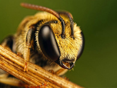 close up of africanized bee