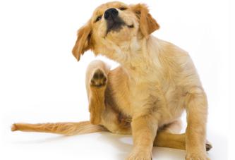 dog scratching fleas inside house