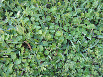 Pennywort also known as dollarweed in florida