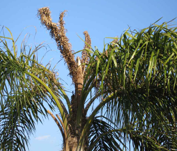 frizzle top queen palm in pinecrest florida client