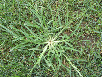 Goosegrass can be seen all over miami