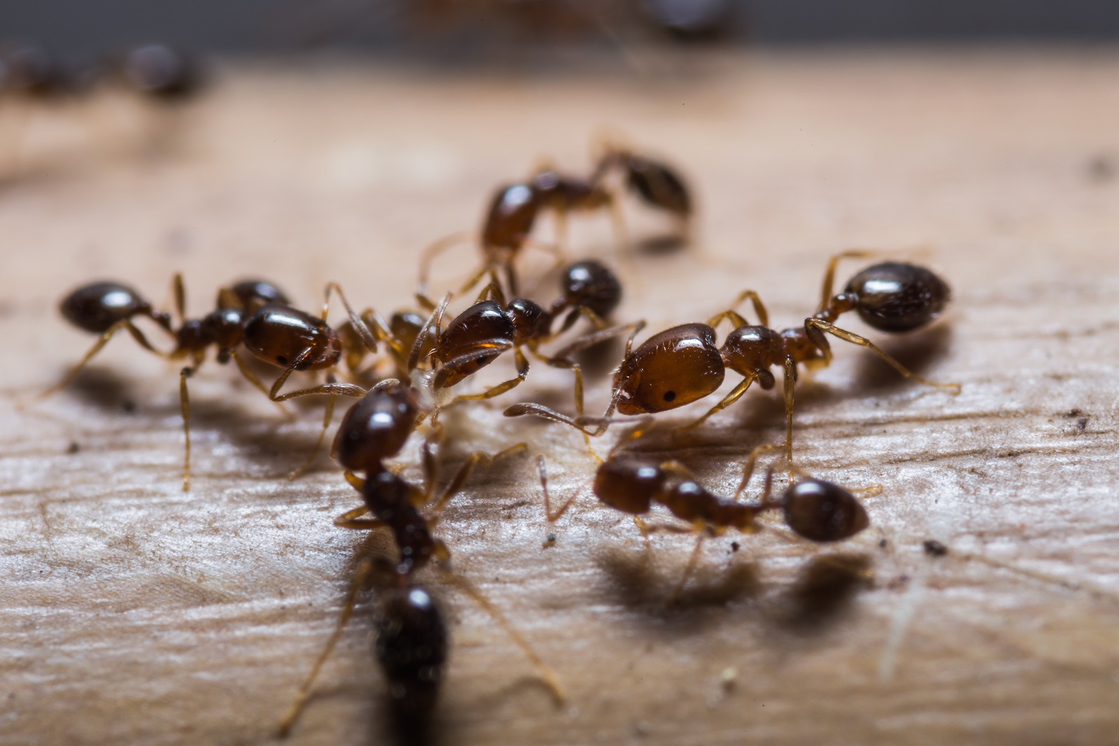 carpenter ant in home