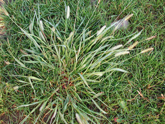 Quackgrass  spreads throughout lawn in pinecrest