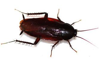 Smokey Brown Roach