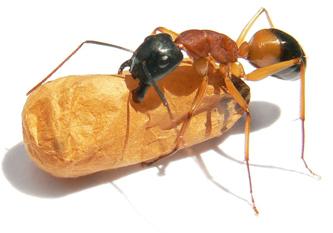 black headed sugar ant