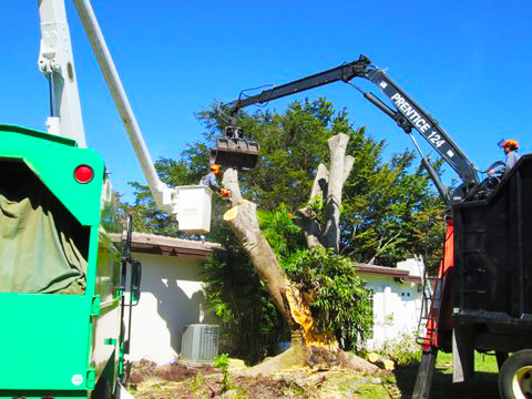 trees-removal-to-help-with-risk in home insurance miami