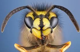 wasp face close up