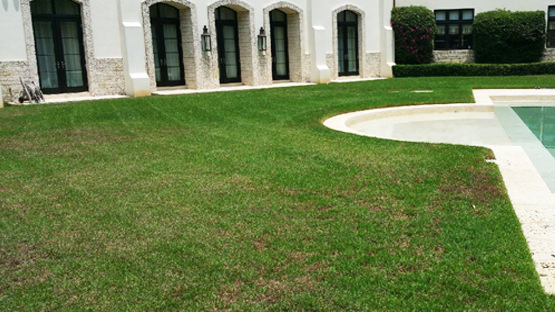after fertilization on miami beach lawn