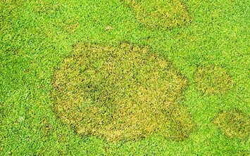 brown patch disease on sports turf