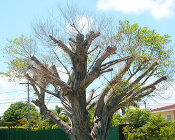 common tree problems in south florida