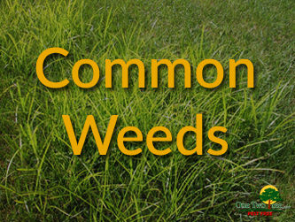 Common Weeds in South Florida