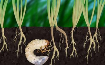 effects of grub bugs