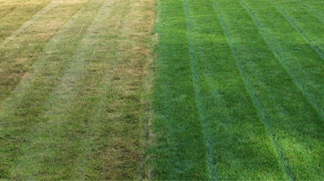 fertilizer compared side by side St Augustinegrass
