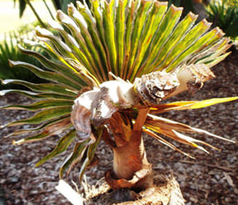 fungal infection palm tree