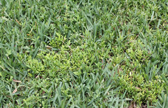 lawn with weeds