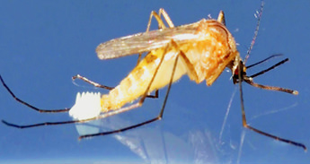mosquito laying egg in water