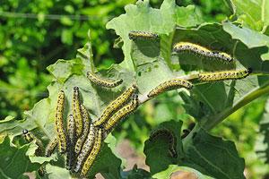 pests damaging crops