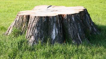 large oak tree stump