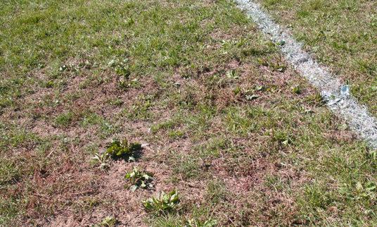 weeds on football field