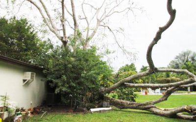 Trees Increasing Miami Home Insurance?