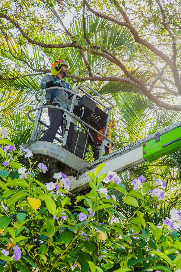 Your Miramar tree trimming service should take great care to do the job safely.