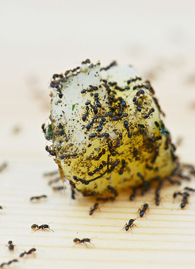 Ant control in South Florida can be challenging.