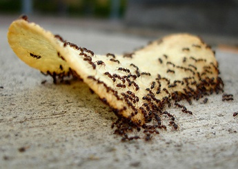 One of the constant problems in Florida, ants are difficult to eliminate.