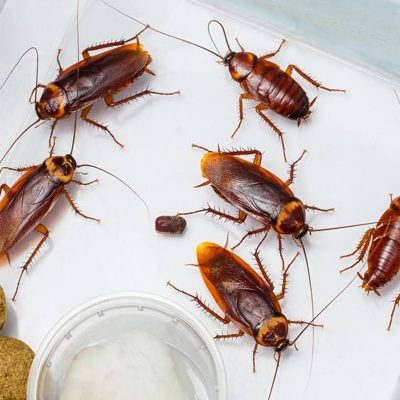 Cockroach control in south Florida is no easy task.