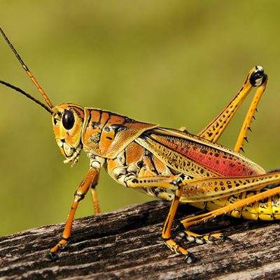 One Two Tree controls the Eastern Lubber Grasshopper.