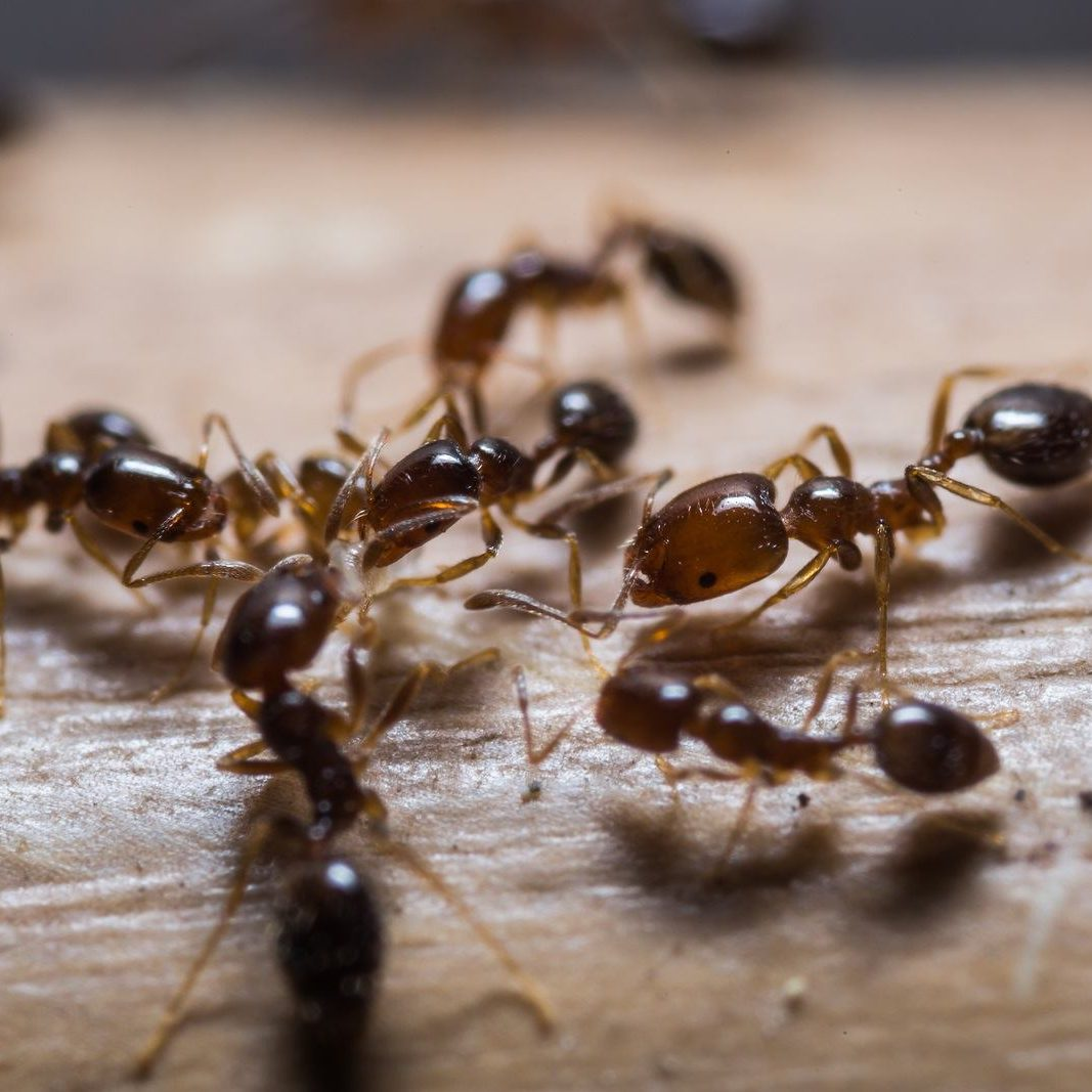 Red Imported Fire Ants, control them by calling One Two Tree.