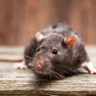 Rodent control in Miami is extremely important to homeowners.