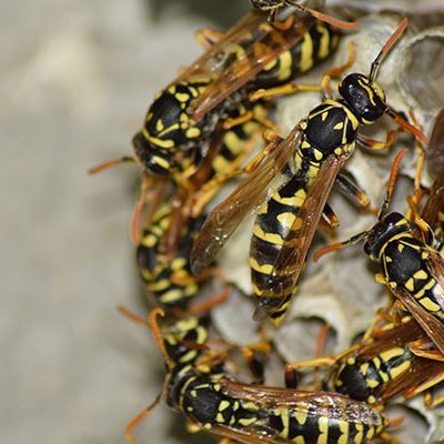 Wasps in Florida can be aggressive and a major nuisance.