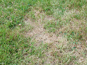 Brown patch fungus is a common lawn problem in South Florida.