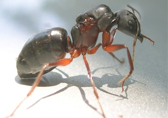 Carpenter Ant damage can be severe if left untreated.