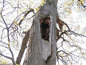 Trees with cavaties can be weakened and vulnerable to further damage.