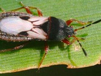 Chinch bugs are a particular problem in St. Aygustine lawns.