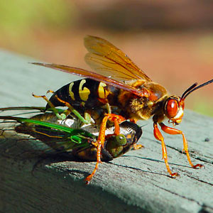 The Cicada Killer Wasp in Florida will rarely sting a human.
