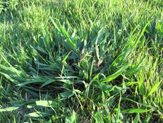 Crabgrass is a pesky form of weed that finds its home in much of South Florida.