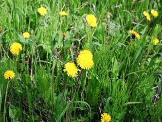 Common weeds in south florida lawns one two tree large yellow flowers mature into round puffballs full of seed distributed by wind for miles mostly germinates during late summer mightylinksfo