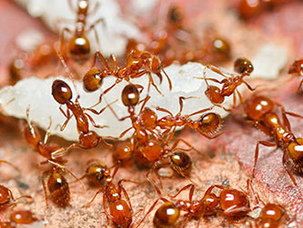 Fire ants are troublesome and a potential threat to humans.