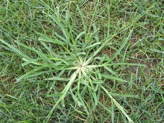 Goosegrass is a familiar weed in lawns of Florida.