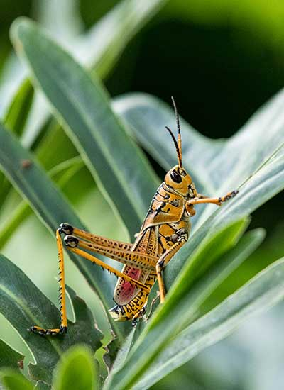 Eastern Lubber Grasshopper close up.