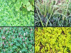 Using groundcover plants to choke out weeds can control their growth.
