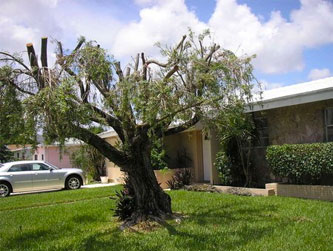 """A common tree problem is damage to the trunk and branches from """"hatracking."""""""